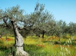 oliveto33.jpg